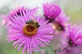 Blüte mit Biene als Bestäuber