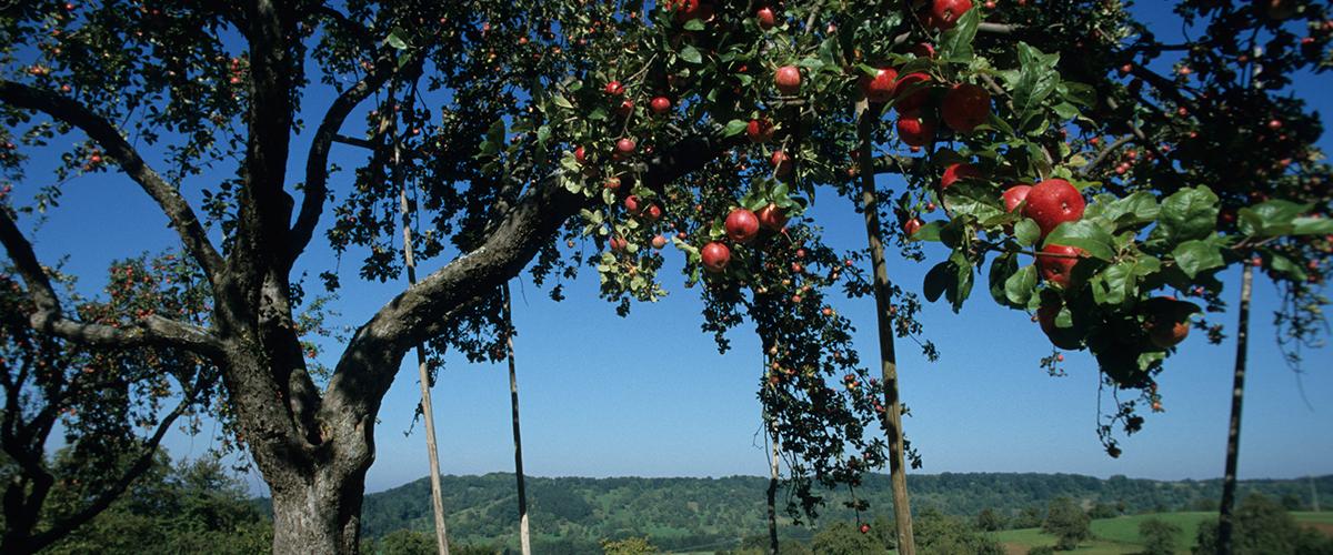 Heimische Obstarten - Kernobst, Steinobst, Beerenfrüchte