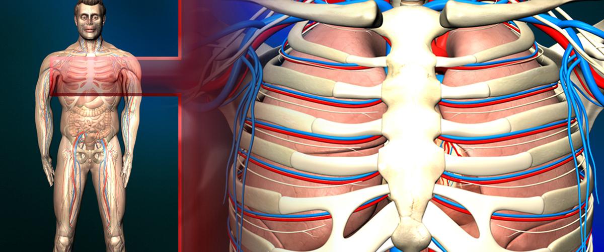 Die menschliche Lunge - Aufbau und Funktion